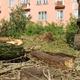 Наместе старых деревьев посадят 50 лип