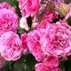 Цветник Галины Киселёвой