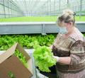 Тепличный комплекс «Новый» дал первый урожай овощей