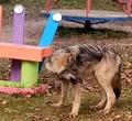 ВВологодской области натерриторию детского сада зашел волк