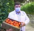 Втепличном комплексе «Новый» созрел первый урожай томатов