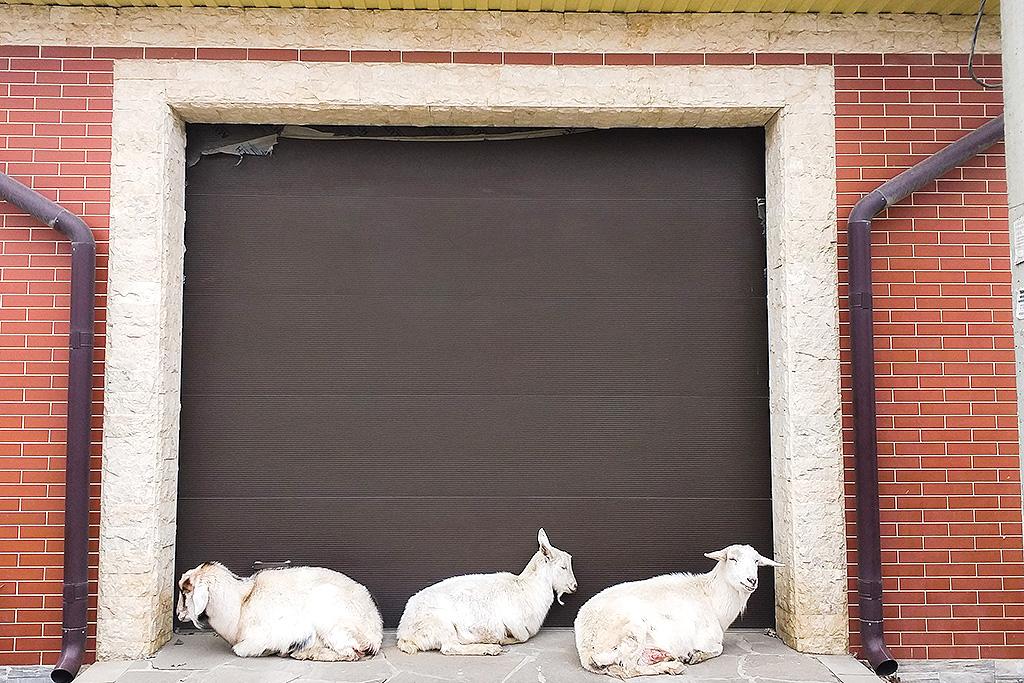 Дагестан, город Хасавюрт. Пришлось переночевать в хостеле, а дагестанские хостелы это что-то! Утром на трассу. Прошел весь город: люди смотрят на меня с интересом, многие спрашивают, откуда, зачем, и что я забыл здесь. А я смотрю на коз, спящих у гаража.